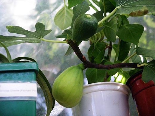Как выращивать инжиру в домашних условиях 836