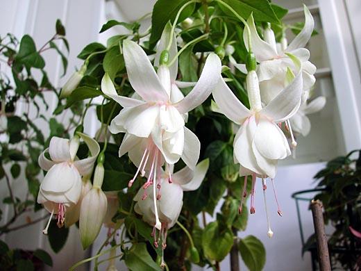 Фуксия Магеллана (F. magellanica) родом из Мексики, Перу, Чили и с Фолклендских...